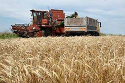 уборка зерновых1