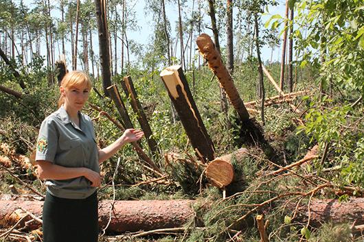 """Помощник лесничего Романовского  лесничества Н.А.Гадлевская:  """"Вот такой след оставил ураган на нашей земле""""."""