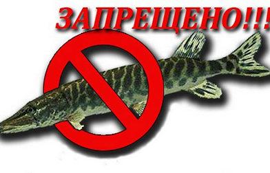 С 1 марта по 15 апреля устанавливается запрет на лов щуки