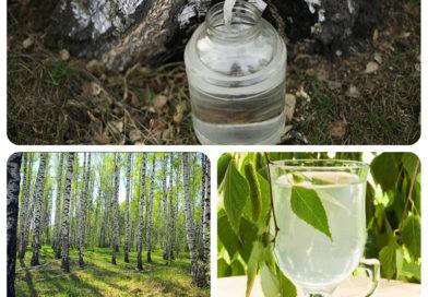 Специалисты Мозырского опытного лесхоза напоминают о правилах заготовки березового сока