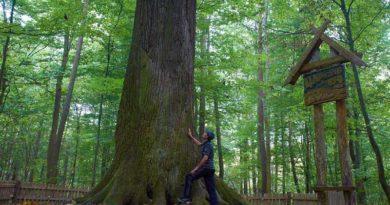 1 мая в Гомельской области стартует проект «Редкие и уникальные деревья и насаждения Беларуси»
