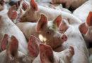 Осторожно — африканская чума свиней