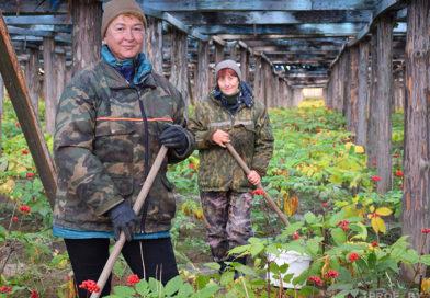 В единственном женьшенарии Беларуси собрали первый урожай «корня жизни»