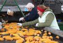Початок к початку. Как заготавливают кукурузу в Мозырском районе