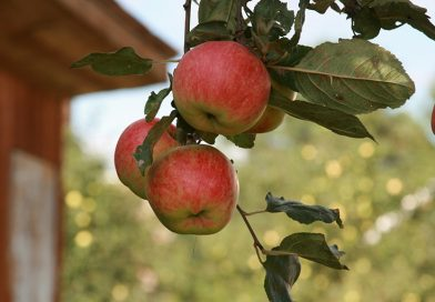 В ежегодном конкурсе на лучшее подворье Мозырщины сад-огород семьи Гулай объявлен победителем